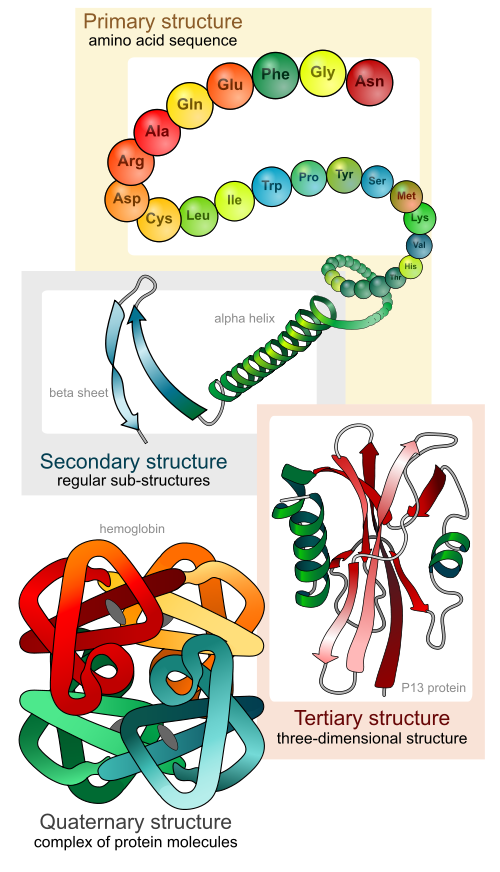 Illustration Showing the Four (4) Levels of Protein Structure