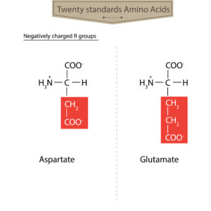 Diagram of Negatively-charged Amino Acids